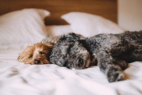 Deux chiens endormis sur un lit d'hôtel